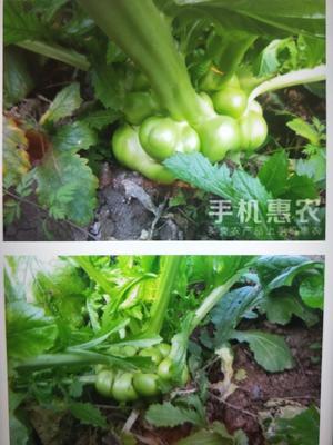 重庆涪陵水盐菜 24个月以上