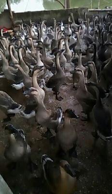 广东云浮罗定市灰鹅 统货 全散养 6-8斤