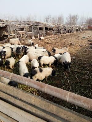 山东潍坊寿光市巴马香猪 80斤以上