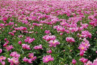 山东菏泽牡丹区多花芍药 4~6cm 0.5米以下