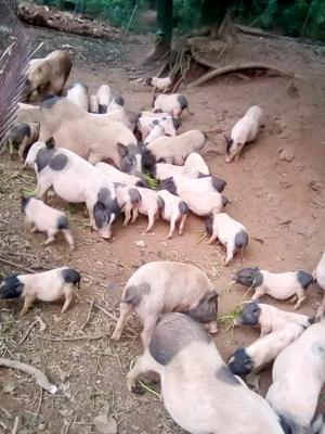 云南思茅景谷傣族彝族自治县巴马香猪 20斤以下