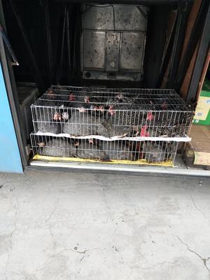 山东菏泽牡丹区灰色珍珠鸡 2-4斤