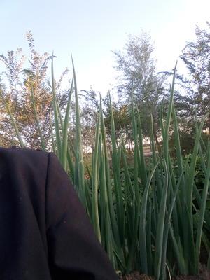 新疆昌吉昌吉市铁杆大葱 3cm左右 30~40cm 毛葱