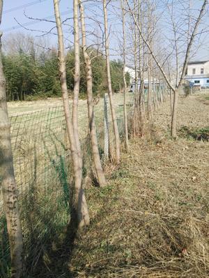 江苏无锡锡山区银杏实生树