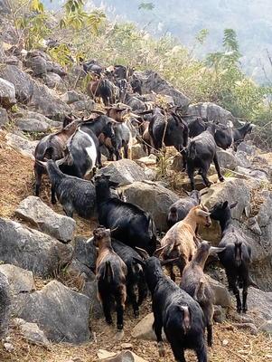 广西南宁上林县山羊 50-80斤