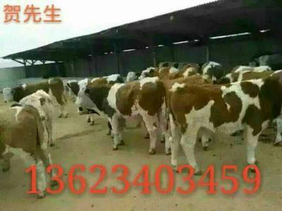 山西忻州原平市西门塔尔牛 400-600斤 统货
