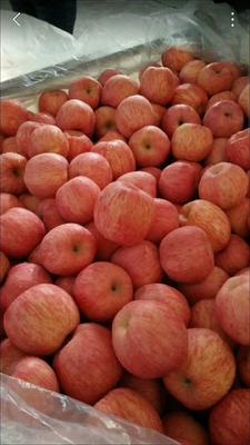 山东日照东港区红富士苹果 纸袋 条红 85mm以上