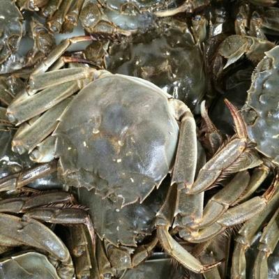 江苏苏州常熟市阳澄湖大闸蟹 2.0-2.5两 母蟹