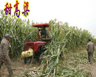 江苏省宿迁市沭阳县牧草高粱 种子