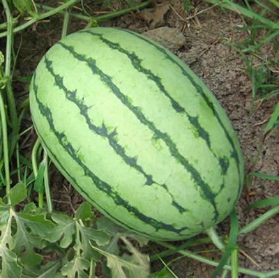 山东潍坊寒亭区早春红玉西瓜 有籽 1茬 10成熟 3斤打底