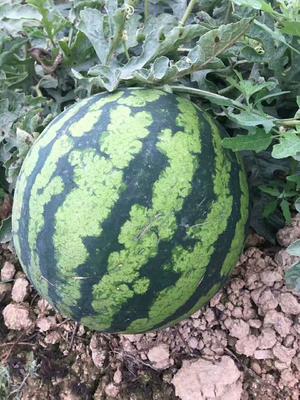 云南西双版纳勐海县超大甜王0号 有籽 2茬 8成熟 2斤打底
