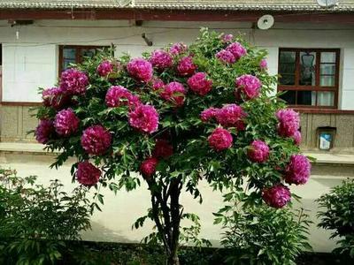 山东菏泽牡丹区牡丹树 20cm以上 10~12cm 1.5~2米