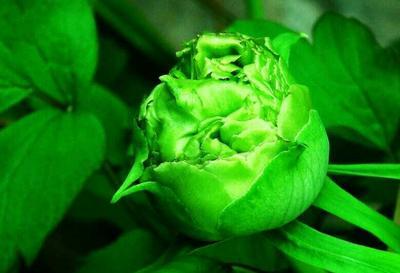 山东菏泽牡丹区豆绿 2~4cm 4~6cm 0.5米以下