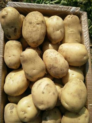 云南德宏芒市丽薯6号土豆 4两以上