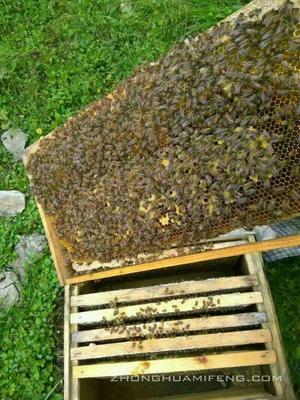 贵州遵义遵义县中蜂