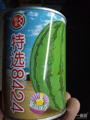 河南周口扶沟县8424西瓜 有籽 1茬 8成熟 6斤打底
