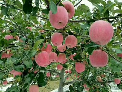 甘肃庆阳正宁县红富士苹果 纸袋 条红 85mm以上