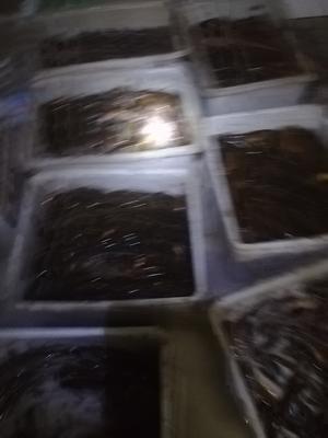 湖北孝感云梦县商品黄鳝 人工养殖