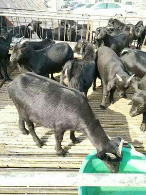 山东菏泽郓城县黑山羊 50-80斤