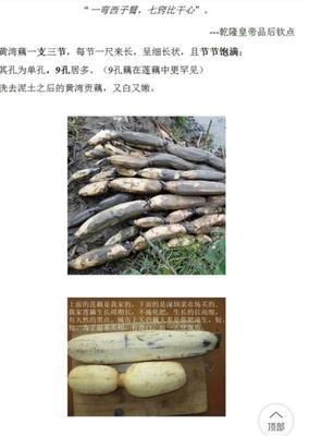 湖北潜江潜江市黄湾藕 5-7cm 30~35cm