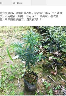 广西钦州灵山县南方红豆杉 0.5米以下