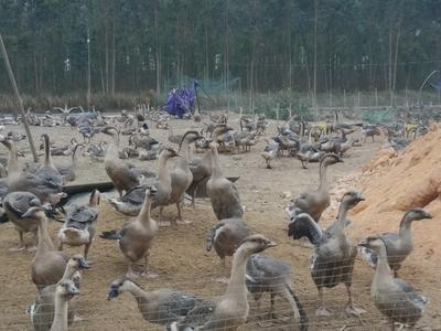 广东湛江遂溪县大白沙 统货 全圈养 12斤以上
