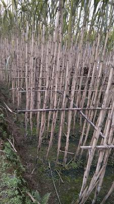 四川泸州江阳区青皮甘蔗 3m以上 3 - 4cm