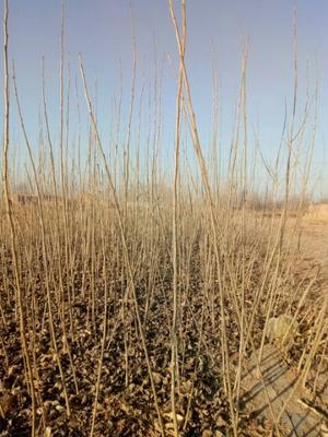 河北沧州泊头市杨树种条及插穗