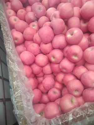 山东烟台蓬莱市红富士苹果 纸袋 片红 85mm以上