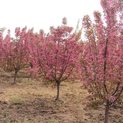 山东泰安岱岳区日本红叶樱花 4公分以下 0.5~1米