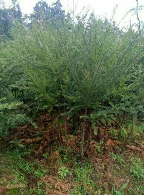 广西桂林兴安县南方红豆杉 2.0~2.5米