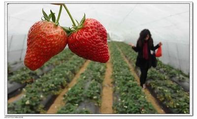 江苏无锡江阴市奶油草莓 20克以上
