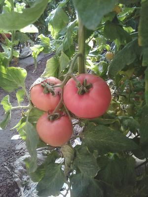 山东济南商河县大红西红柿 不打冷 大红 弧三以上