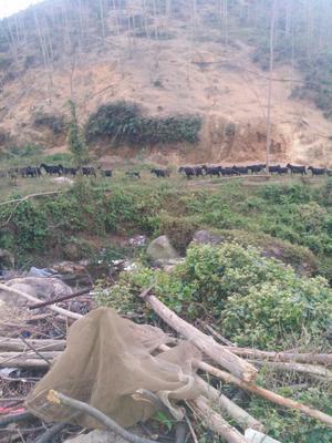 广东江门新会区黑山羊 50-80斤
