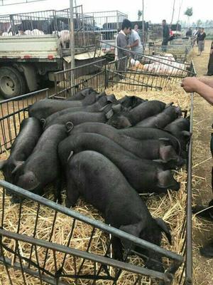 山东临沂沂南县长白猪 60斤以上