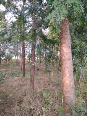 四川雅安芦山县南方红豆杉 3.5米~5米