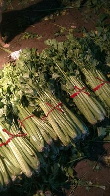 河南省驻马店市上蔡县西芹 45~50cm 大棚种植 0.5~1.0斤