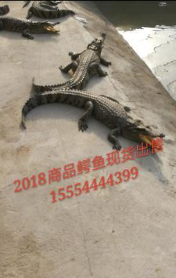 山东济宁嘉祥县暹罗鳄