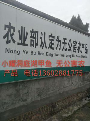 广东广州海珠区野生甲鱼