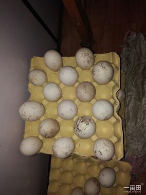 河北衡水深州市鲜鹅蛋 食用 散装