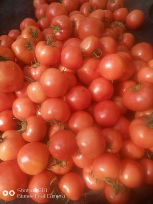 山东聊城高唐县硬粉番茄 不打冷 硬粉 弧三以上