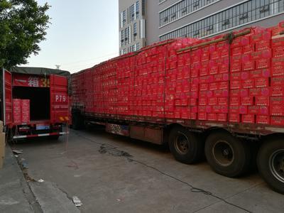 江苏徐州鼓楼区冰糖心苹果 膜袋 条红 75mm以上