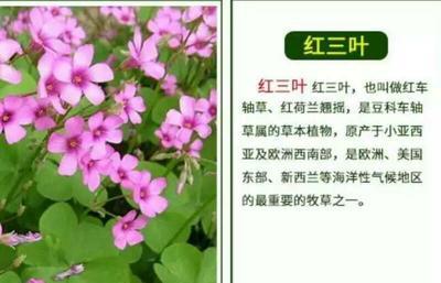 江苏宿迁沭阳县红三叶种子