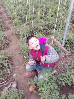河南南阳方城县硬粉番茄 不打冷 硬粉 弧二以上