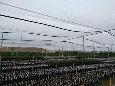 广西崇左江州区黑蔗 2 - 2.5m 4 - 5cm