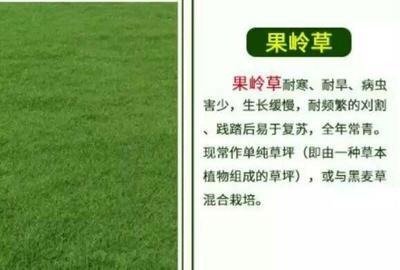 江苏宿迁沭阳县果岭草
