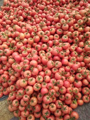 山东临沂费县硬粉番茄 不打冷 硬粉 弧三以上