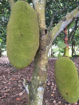 海南海口美兰区海南菠萝蜜 15斤以上