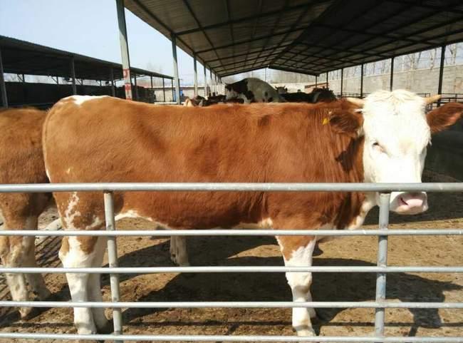 改良肉牛 200-300斤 统货