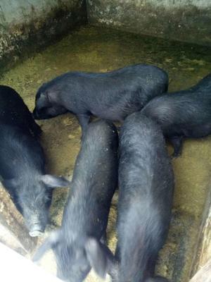 广西河池金城江区土猪 80斤以上
